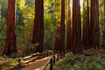 Foto auf Leinwand Dunkelbraun Trail through redwoods in Muir Woods National Monument near San Francisco, California, USA