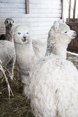Alpaka farm