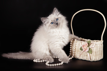 Fluffy kitten of the Nevskaya Masquerade with blue eyes, near a basket with white beads on a black background.
