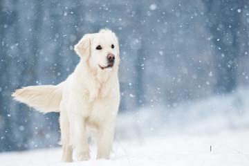 Wall Mural - active dog in winter, breeds golden retriever