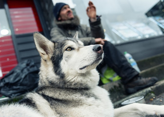 manchester, england, 05/052017, A beautiful husky wolf dog, with yellow eyes and beautiful fur coat, on a lead. Wayne dixon and koda the dog travelling UK sleeping homeless along the way.