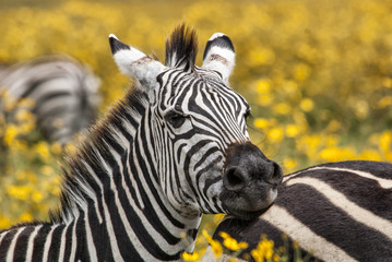 Photo sur Plexiglas Zebra SONPortrait of a zebra in the Ngorongoro CRater National Park in Tanzania