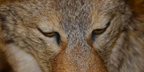 Wolf Closeup eyes