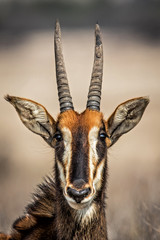Portrait of a Sable Antelope in Willem Pretorius Game Reserve in South Africa