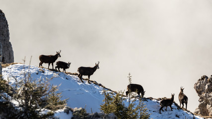 A big herd of Black Goats were having a sunbath on the crests of Hasmas mountains in Romania on a sunny day of winter.