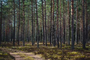 a path in a pine forest