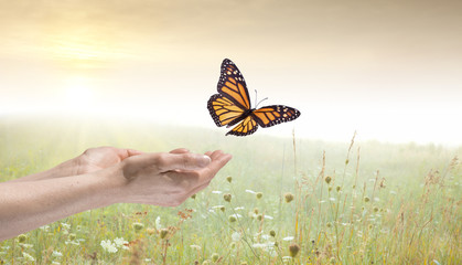 Young female hands holding Monarch butterfly over a field of wild flowers