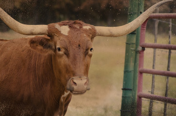 Wall Mural - Large Texas longhorn cow on cattle farm.