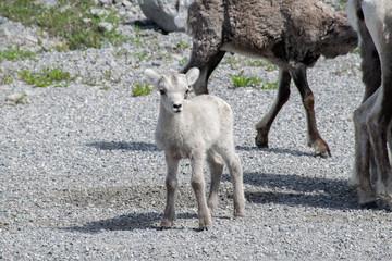 Baby Stone Sheep