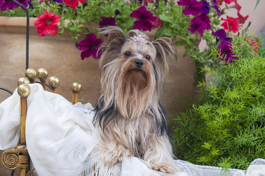 Yorkshire Terrier with potted flowers