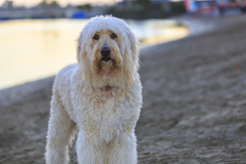 Golden Doodle at Mission Bay Beach, San Diego, California, USA