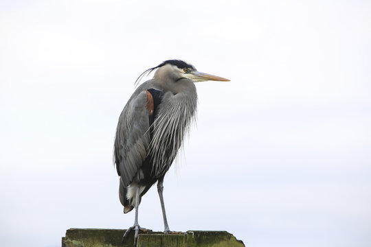 Bremerton, Washington State. Great Blue Heron stands on a pier