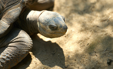 turtle head ,eye look angry on sand floor in sun light and shade