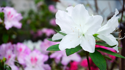Close-up photography, white and pink flowers growing in garden. White flowers have green leaves. Concept of modern flower shops and blossoming.