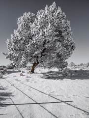 Frost Covered Tree In Winter Near Grand Canyon in Forest