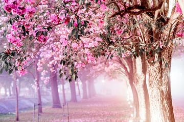 Keuken foto achterwand Zalm Pink flower Chompoo Pantip ,Pink trumpet tree in Thailand at Kasetsart University Kamphaeng Saen