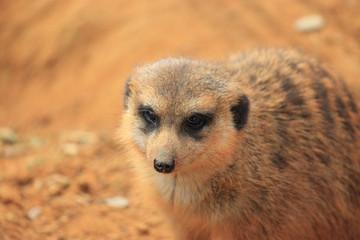 Curious Meerkat close-up