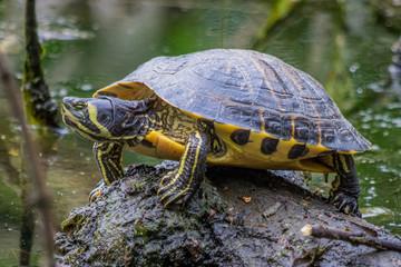 Turtle / Trachemys scripta scripta