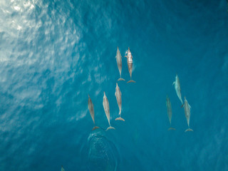 Dolphins Swimming in Ocean Drone View