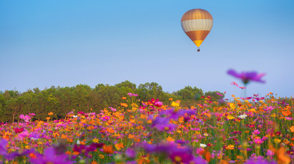 Hot air balloon over cosmos flowers with blue sky, Colorful hot air balloon is flying at sunrise