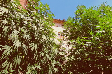 Cannabis leaves pattern. Marijuana hemp grove background. Sativa medical plant. Marihuana texture detail macro in courtyard against house and sky with flat vintage style. High quality weed legal grow