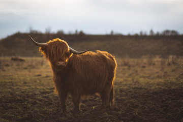 Foto auf Leinwand Schottische Hochlandrind Scottish Highland Cattle