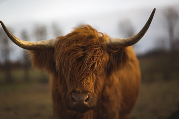 Foto op Plexiglas Schotse Hooglander Scottish Highland Cattle
