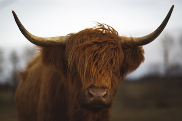Photo sur Aluminium Vache de Montagne Scottish Highland Cattle