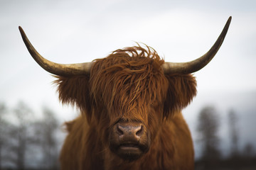 Poster Vache de Montagne Scottish Highland Cattle