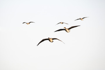 Flock of geese flying in V-formation