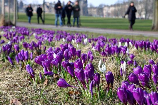 Fioletowe i białe krokusy kwitną w parku, niektóre nieco rozmyte, w tle spacerują ludzie, grupa rozmytych chłopców wpatrzona w smartfony w swoich dłoniach, idzie ścieżką, w tle nieostra zabudowa