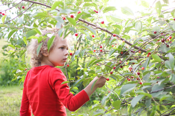 Little girl collecting ripe cherries on cherry tree in a summer garden.