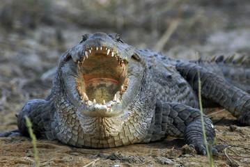 Foto auf Acrylglas Crocodile Sénégal, crocodile d'Afrique