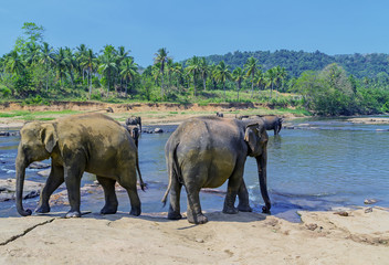 Large elephant herd, Asian elephants swimming playing and bathing in river Sri Lanka