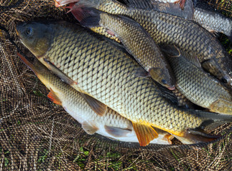 fish carp in fish net background Easter Spring