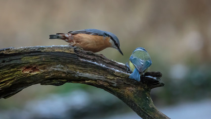 Nuthatch bird in winter
