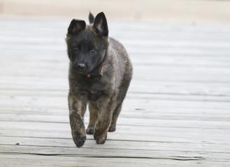 Puppy running on wooden surface
