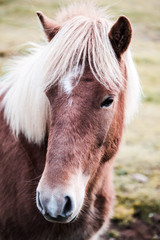 Icelandic horse - animals