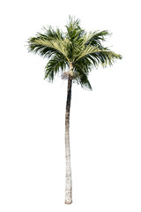 Isolated palm tree on white background