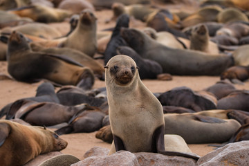 Cape Cross Seal Colony outside Swakopmund, Namibia