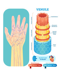 Venule anatomical vector illustration cross section. Circulatory system blood vessel diagram scheme on human hand silhouette. Medical educational information.