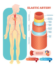 Elastic artery anatomical vector illustration cross section. Circulatory system blood vessel diagram scheme on human body silhouette. Medical educational information.