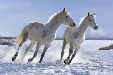 Winter white horses look great on white snow