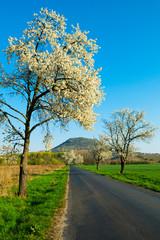 blossoming cherry roadside tree