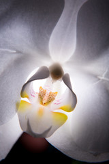 White orchid blossom on a black background