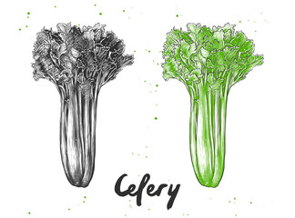Vector engraved style illustration for posters, decoration and print. Hand drawn sketch of celery in monochrome and colorful. Detailed vegetarian food drawing.