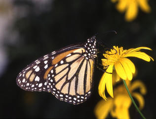 Monarchfalter an gelber Blüte