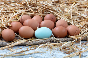 Close up single blue egg with brown organic raw chicken eggs lying on straw and wooden background