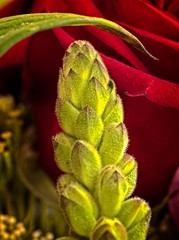 Green Flower Bud and Red Rose