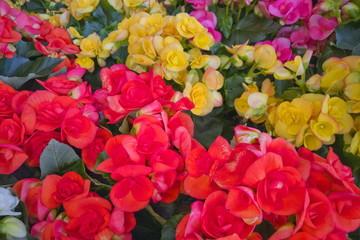 Fiore Begonia Begonie